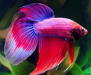 cambodian betta male 120217b6 w06401 Teddy Tank   the Hottest New Kids Product Out There!