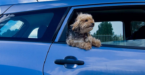 dog_car_window_16